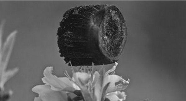 石墨烯气凝胶立于桃花花蕊上